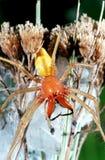 Große gelbe und orange Spinne Stockbilder