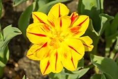 Große gelbe und rote Blume im Frühjahr Lizenzfreie Stockbilder