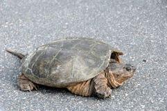 Große gemeine reißende Schildkröte Stockbilder
