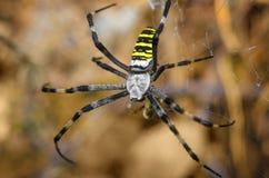 Große gestreifte Spinne Stockbilder