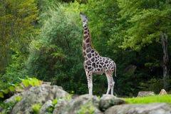 Große Giraffe in seinem natürlichen Lebensraum stockfotografie