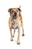 Große glückliche Mischzucht-Hundestellung Lizenzfreie Stockfotografie