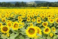 Große glückliche Sonnenblume und Sonnenblumenöl ernten an einem sonnigen Tag in t lizenzfreie stockfotografie