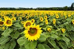 Große glückliche Sonnenblume und Sonnenblumenöl ernten an einem sonnigen Tag in t stockfotos