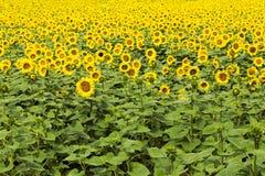 Große glückliche Sonnenblume und Sonnenblumenöl ernten an einem sonnigen Tag in t stockbilder