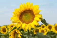 Große glückliche Sonnenblume und Sonnenblumenöl ernten an einem sonnigen Tag in t lizenzfreie stockbilder