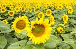 Große glückliche Sonnenblume und Sonnenblumenöl ernten an einem sonnigen Tag in t lizenzfreie stockfotos