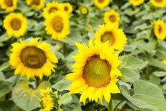 Große glückliche Sonnenblume und Sonnenblumenöl ernten an einem sonnigen Tag in t lizenzfreies stockfoto
