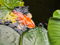 Große goldene Fische, Karpfen Stockbild