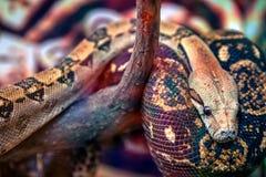 Große grün-braune Pythonschlange stockfotografie