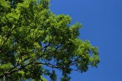 Große grüne Baumaste und tiefer blauer Himmel lizenzfreies stockbild
