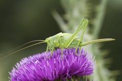 Große grüne bushcricket Nahaufnahme/Tettigonia Viridissima Lizenzfreie Stockfotos
