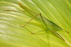 Große grüne Heuschrecke auf einer Blattpalme Stockbild