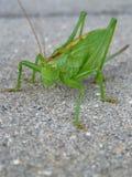 Große grüne Heuschrecke auf grauem Hintergrund stockbild