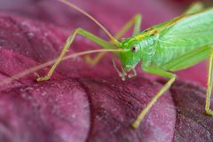 Große grüne Heuschrecke auf rotem Urlaub, Makro stockbilder