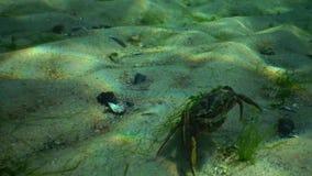 Große grüne Krabbe Carcinus-maenas läuft schnell über den Sand stock video footage