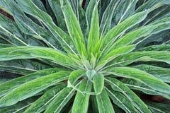 Große grüne Rosette von Blättern in einem Muster Stockbilder