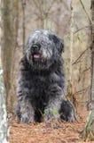 Große graue flaumige schäbige Schäferhundart Hund, der im Holz sitzt Lizenzfreie Stockfotografie