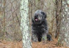 Große graue flaumige schäbige Schäferhundart Hund, der im Holz sitzt Stockfoto