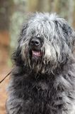 Große graue flaumige Schäferhundart Hund mit Haarbedeckung mustert Lizenzfreies Stockfoto