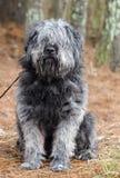 Große graue flaumige Schäferhundart Hund muss sich pflegen Lizenzfreie Stockbilder