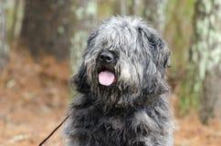 Große graue flaumige Schäferhundart Hundekeuchenzunge Stockfotografie