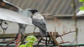 Große graue Hoodiekrähe, die nach etwas Material sucht, um sein Nest zu errichten stock video footage