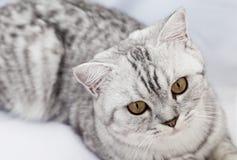 Große graue Katze Stockfoto