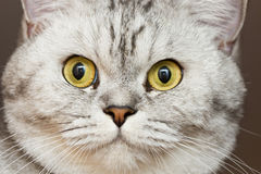Große graue Katze Lizenzfreies Stockbild