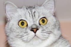 Große graue Katze Lizenzfreie Stockbilder