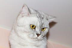 Große graue Katze Stockbilder