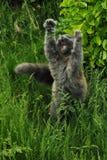 Große graue Katze Stockbild