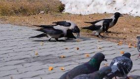 Große graue Krähen und Tauben, die Brotkrumen aus den Grund und die Pflasterung picken, stock footage