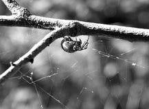 Große graue Spinne stockfotografie