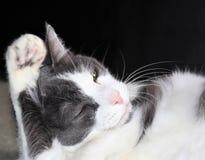 Große graue und weiße Katze, die sein Ohr mit einer Tatze pflegt Stockfotografie