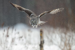 Große Grey Owl-Jagd Lizenzfreies Stockbild