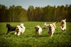 Große Gruppe des Laufens der Hundegoldenen Retriever Stockbild