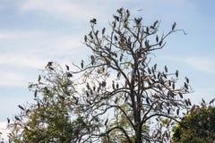 Große Gruppe des offenen berechneten Storchvogels auf dem Baum Lizenzfreie Stockbilder