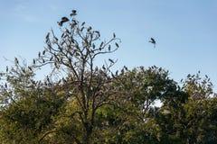 Große Gruppe des offenen berechneten Storchvogels auf dem Baum Lizenzfreies Stockbild