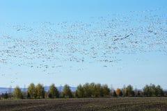 Große Gruppe Fliegenschneegänse Lizenzfreies Stockfoto