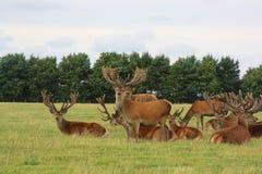 Große Gruppe Hirsche stockbild