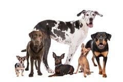 Große Gruppe Hunde lizenzfreies stockbild