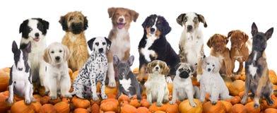 Große Gruppe Hunde, die auf Kürbisen sitzen Stockfotografie