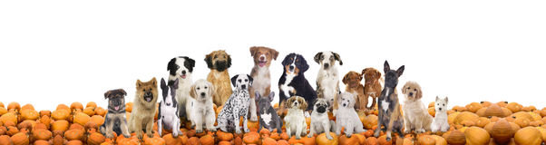 Große Gruppe Hunde, die auf Kürbisen sitzen Lizenzfreie Stockfotografie
