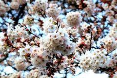 Große Gruppe Kirschblüte-Blumen Stockbild