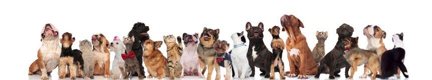 Große Gruppe Mischhunde und Katzen, die oben schauen lizenzfreie stockfotos