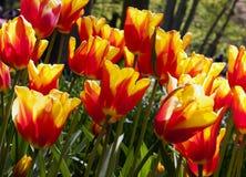 Tulpen in Keukenhof Stockbild