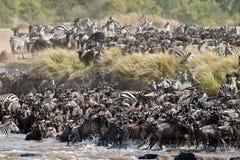 Große Gruppe von Wildebeest den Fluss Mara kreuzend Stockfotografie