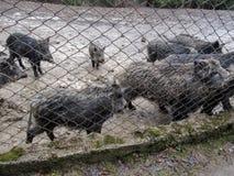 Große Gruppe wilde Eber im Schlamm hinter dem Gitter im Zoo Lizenzfreies Stockfoto