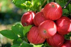 Große Gruppierung von den Äpfeln, die von den Niederlassungen im Obstgarten hängen Lizenzfreies Stockfoto